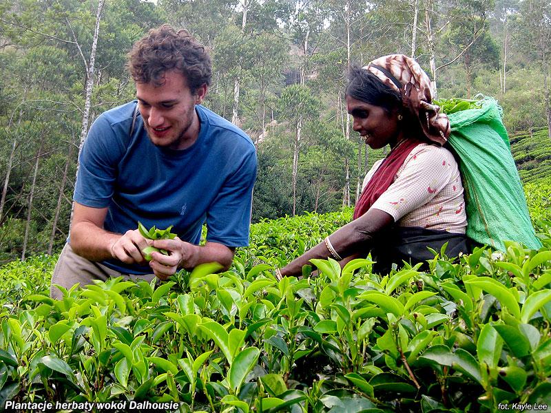 Plantacje herbaty wokół Dalhousie