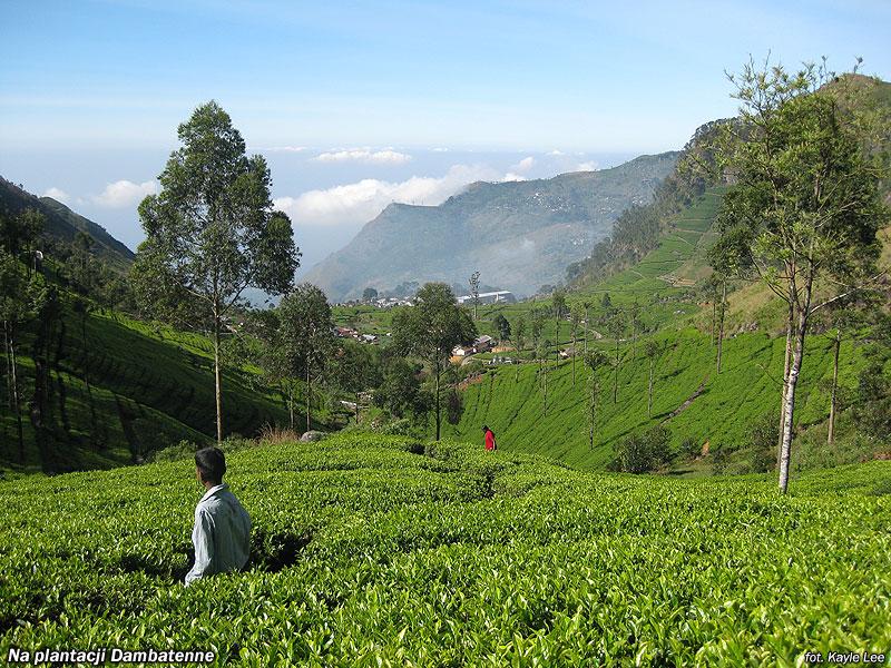 Na plantacji herbaty Dambatenne