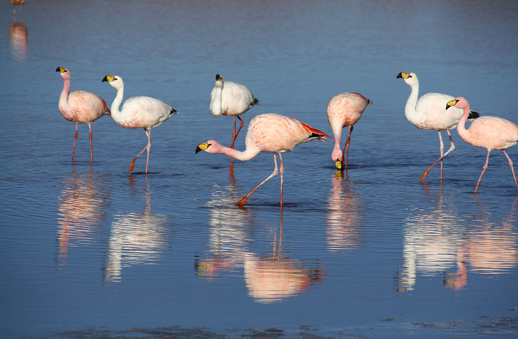 Flamingos, Laguna Colorada