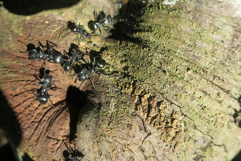 Szacuje się, że 10% do 30% masy wszystkich zwierząt w Amazonii stanowią mrówki.