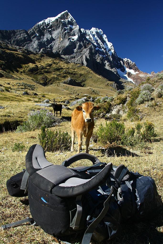Dzień trzeci, poranek w dolinie potoku Rondoy. Nasz namiot zainteresował lokalne krowy.