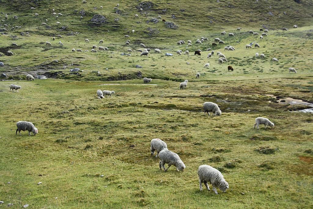 Owce teleportowane niczym ze Szkocji.