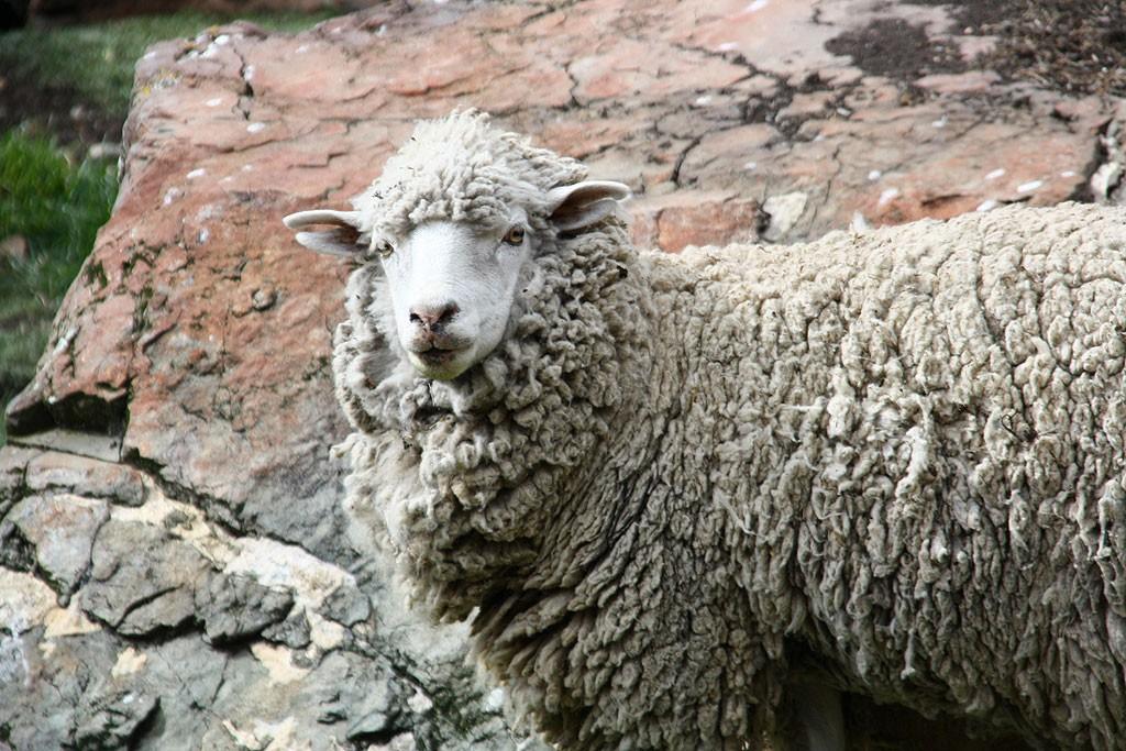 Portret owcy.