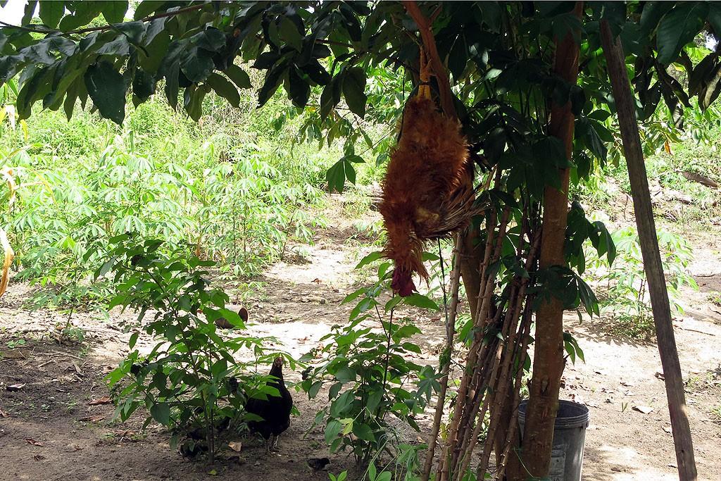 Kurczak czeka na oskubanie, w tle poletko kassawy