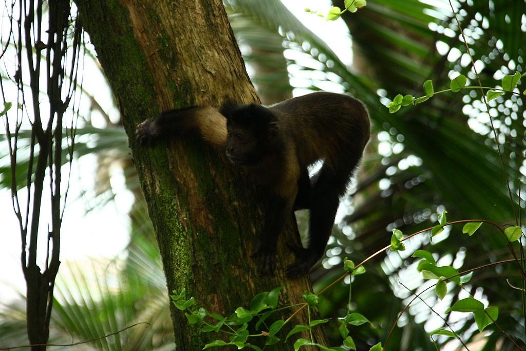 Małpy na Île Royale