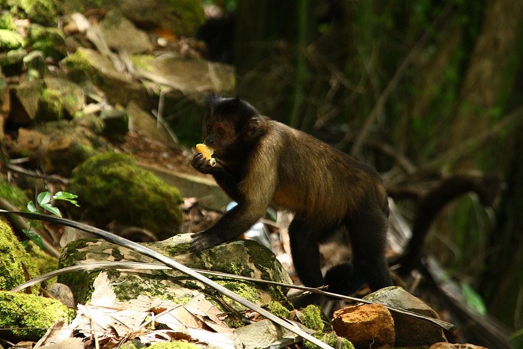 Małpy na Île Royale były wyjątkowo mało agresywne i bały się ludzi