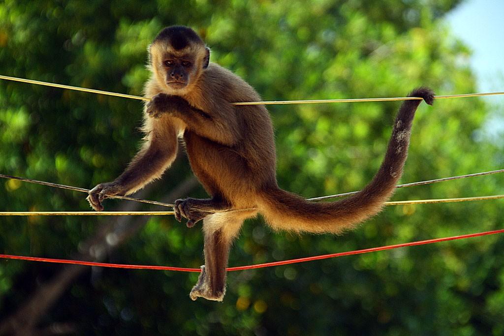 Małpy w turystycznej wiosce Mandacaru
