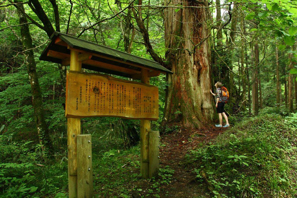 Drzewko gdzieś w okolicach Magome. Kilka godzin szliśmy malowniczą drogą łączącą Kioto z Tokio w czasach Edo.