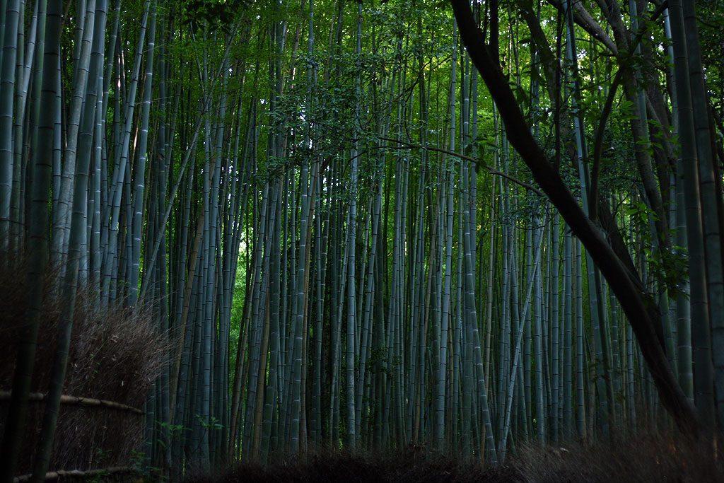 Arashaima Bamboo Grove